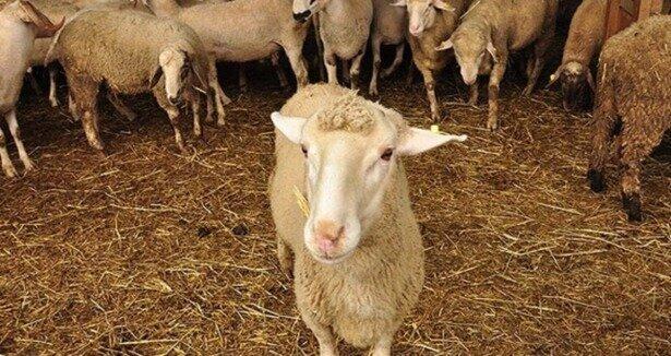 6 dakikada 19 koyun çaldılar