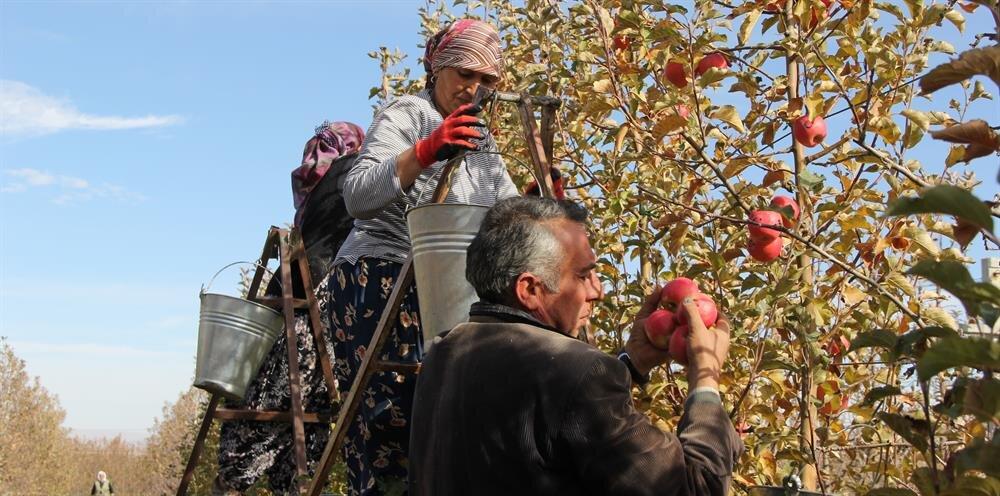 Üzerine çeşitli simgelerin yerleştirildiği elmalar başta İstanbul olmak üzere, yurdun birçok bölgesine gönderiliyor.