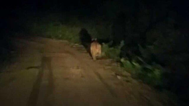 Köy yolunda ayı önüne çıkan aracı taşladı
