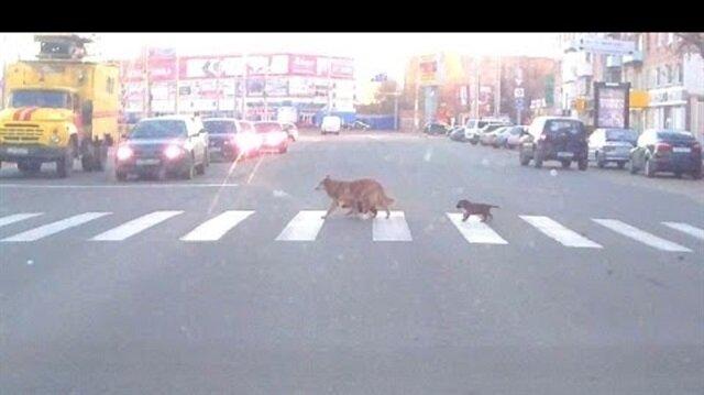 كلب يلقن جروين درسًا في كيفية عبور الطريق!