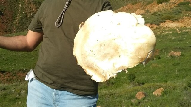 Erzincan'da bir vatandaş 5,5 kilogram ağırlığında çaşır mantarı buldu.