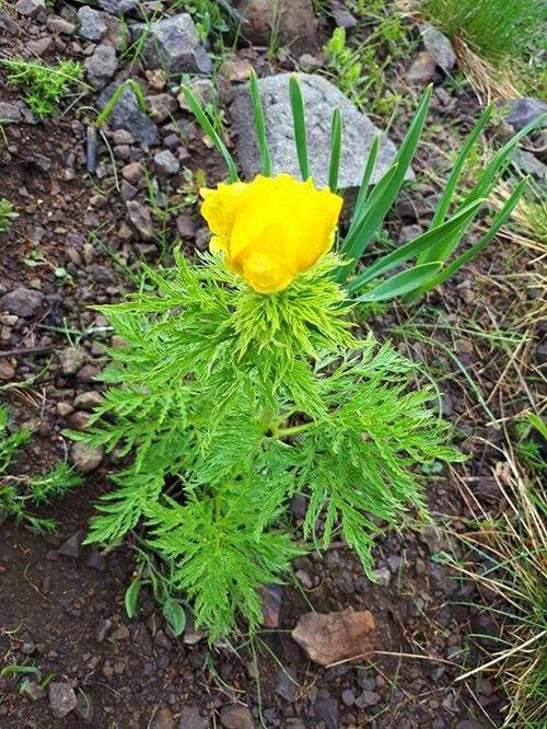 Kan damlası bitki cinsinin 9 türü, iki alt türü bulunmaktadır. Bu 9 türün 2'si sarı, 7'si kırmızı çiçeklidir.