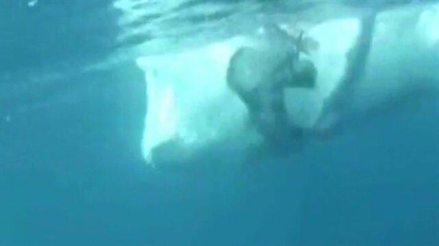 Dev balina dalgıcı böyle teğet geçti!