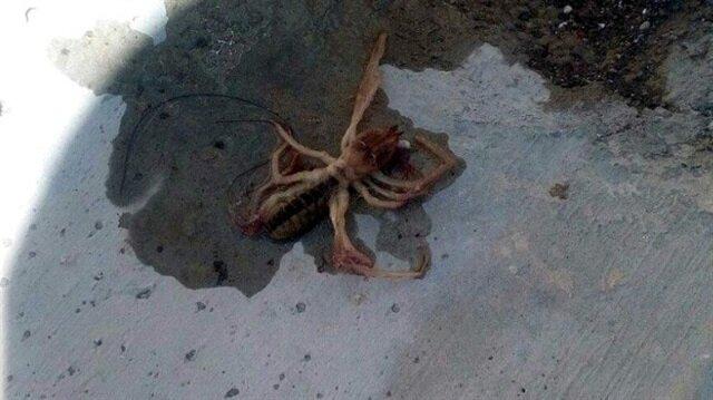Et yiyen örümcek Kayseri'de görüldü...