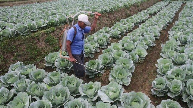 A farmer sprays pesticides over a cabbage plant