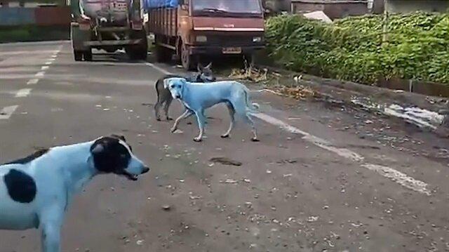 Sokaklarda dolaşan 'mavi' köpekler yerel halkı şoke etti