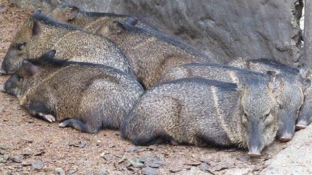 Aç kalan insanlar hayvanat bahçesindeki hayvanları yiyor