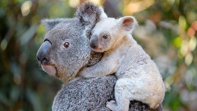 Avustralya Hayvanat Bahçesi nadir görülen beyaz koala dünyaya geldi.