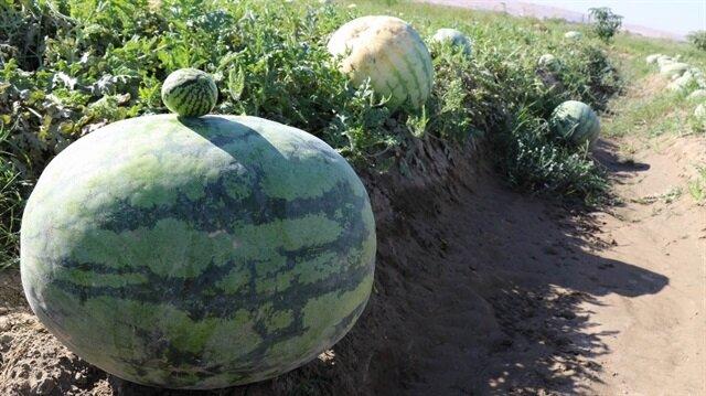 Diyarbakır karpuzu görücüye çıktı: En büyüğü 52 kiloyu aştı
