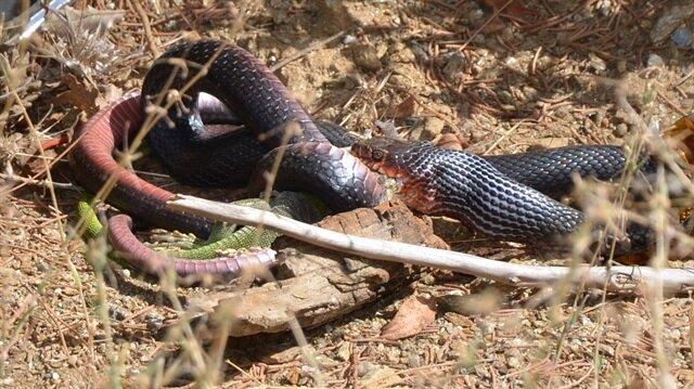 Kara yılanın, yeşil kertenkeleyi yeme anı görüntülendi.