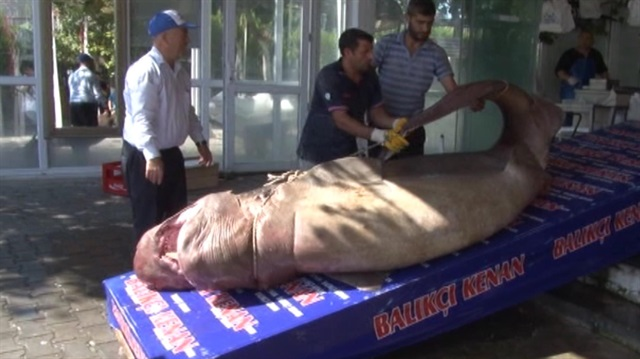 Marmara'da 1 tonluk  köpekbalığı yakalandı