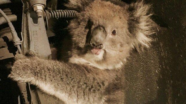 Adelaide kenti itfaiye ekibi, sevimli koalayı sıkıştığı yerden çıkarıp özgürlüğüne kavuşturdu.
