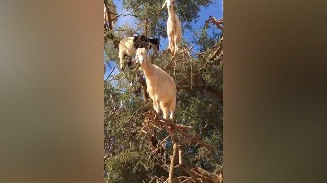 Ağaçta bulunan keçiler şaşkınlıkla karşılandı