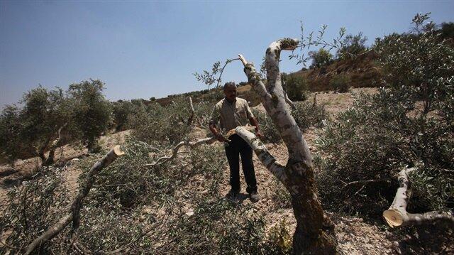 Yahudi işgalciler daha önce de Filistinlilere ait zeytin ağaçlarını kesmişlerdi