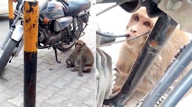 Çok fazla petrol içtiği için sürekli olarak sarhoş gezen maymunun, muz dahi yemediği ifade edildi.