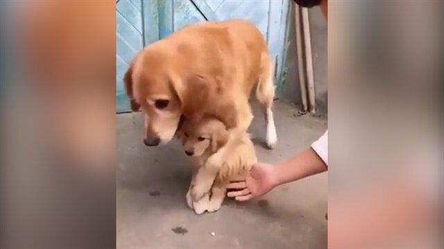 Anne köpek yavrusunu kimseye dokundurtmadı