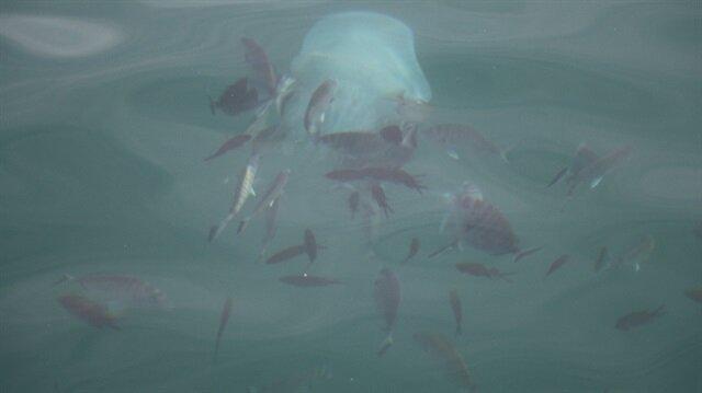 Balıkların deniz anasına saldırma anı kamerada