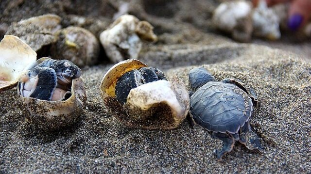 Half-million baby turtles reach sea from Turkish shores in 2017