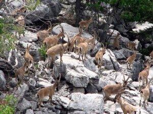 Kaçkar dağlarında yaşayan keçilerin envanteri