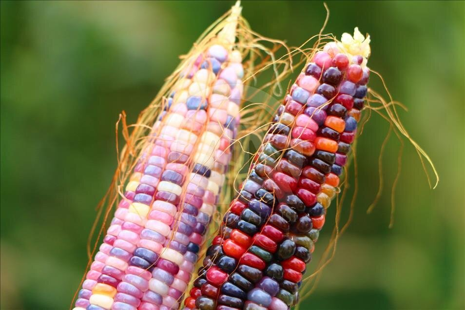 Turkish farmer produces colourful corns