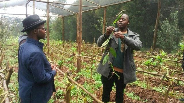 Tanzanian farmers choose vanilla over coffee for profits