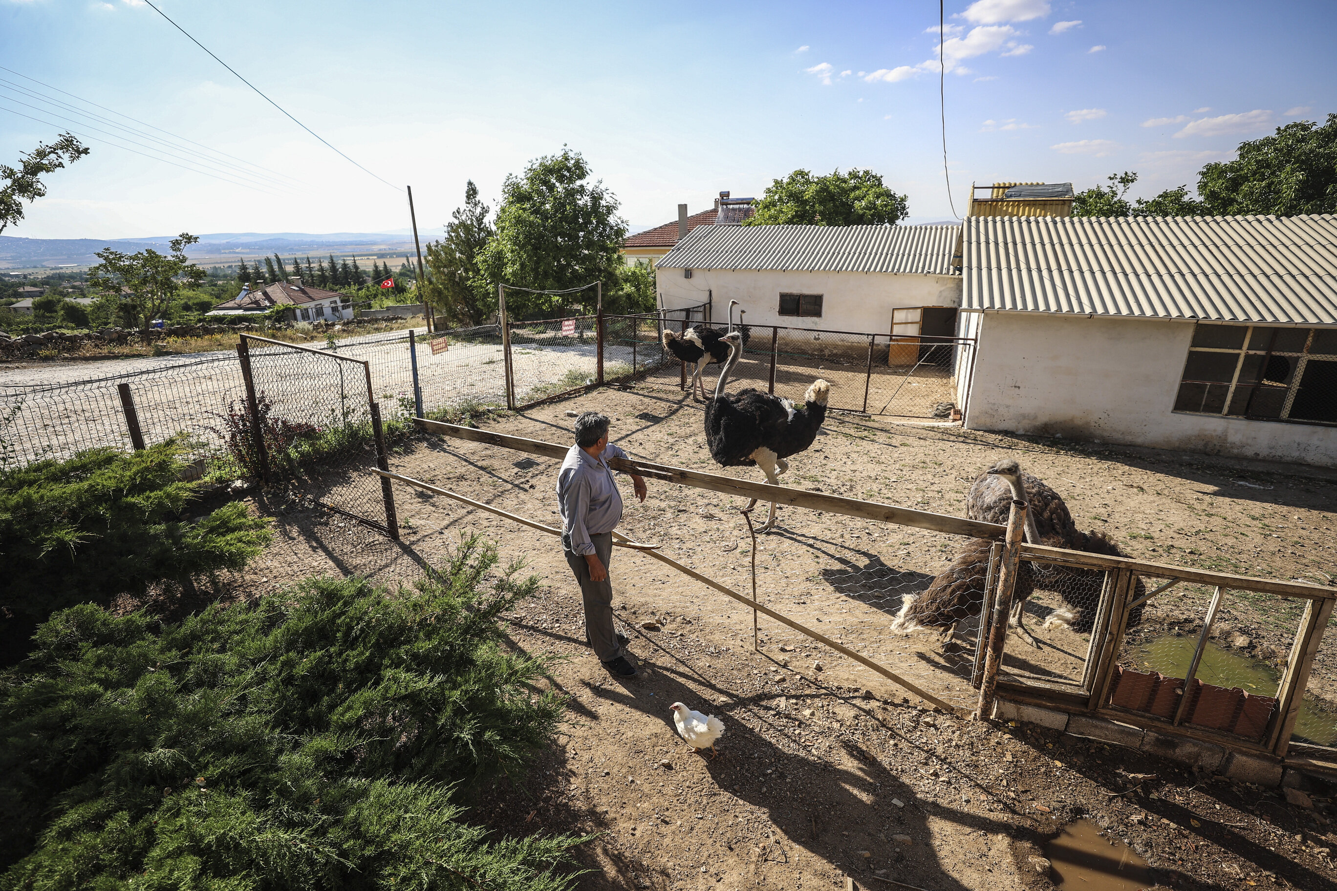 Retired Turk breeds ostriches on his farm in Kirsehir