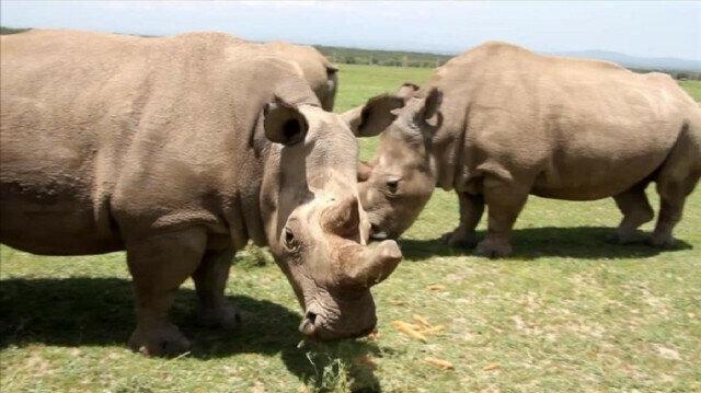 Highly endangered rhinos spring up in Uganda