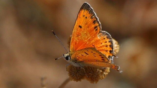 Yeni kelebek türü keşfedildi