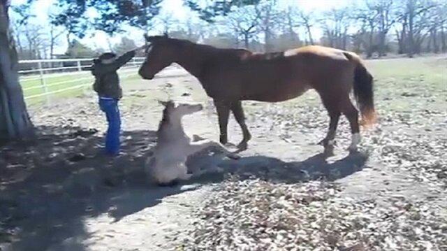 Hapşırırken Sırt üstü Yuvarlanan Yavru At