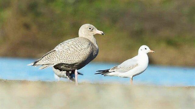 Küresel ısınma kuşları küçültüyor