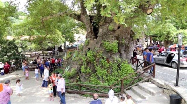 Hatay'daki 3 bin yıllık Musa Ağacına yoğun ilgi