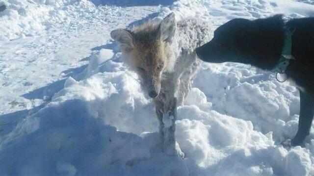 Tilkinin soğuktan donduğu iddia edilmişti.