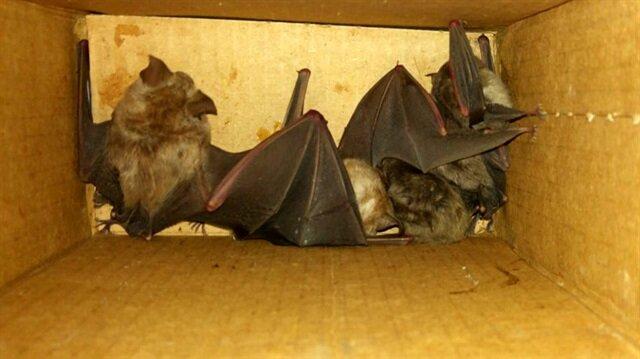 Ele geçirilen 5 yarasa yaşam alanına salındı.
