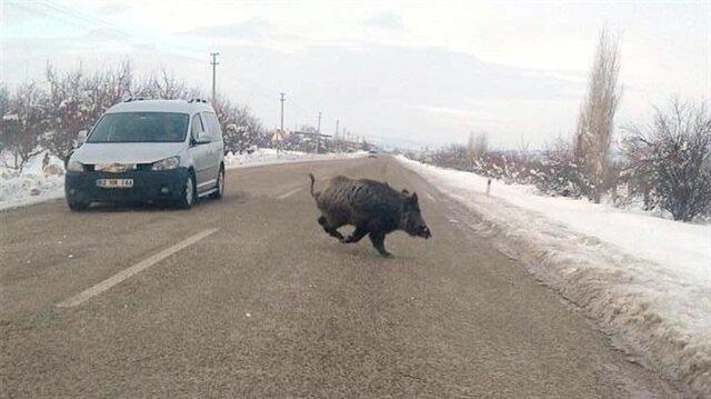 Aç kalan domuzlar trafikte tehlike saçıyor