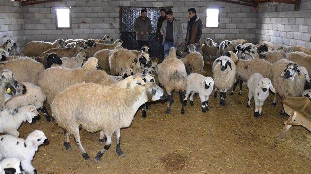 Siverek'te 90 koyunun aynı anda öldüğü mahallede inceleme