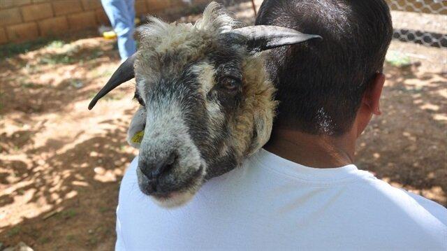 Koyununu kırparken kulağına bakınca gözlerine inanamadı