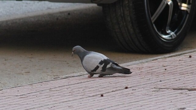 Yürek burkan görüntü: Güvercinin ayaklarını kestiler