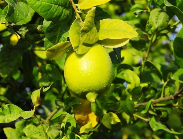 Limon yağının sayısız faydaları