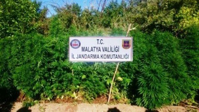 Malatya'da 3 bin 117 kök kenevir bitkisi ele geçirildi