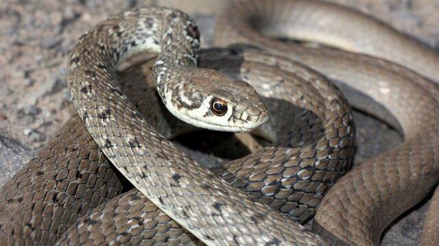Ok yılanı