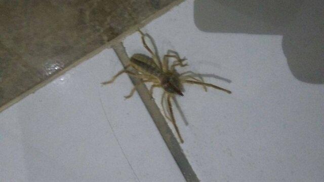 Sarıkız örümceğinin 2 metre kadar zıpladığı belirtildi.