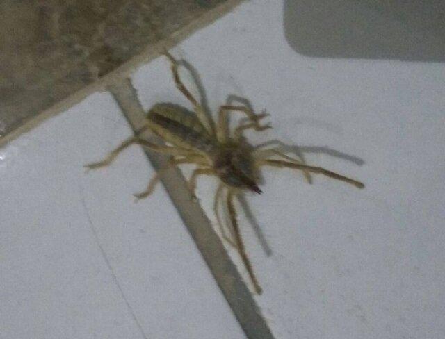 Niğde'de sarıkız örümceği korkusu