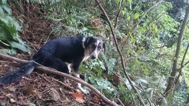 Giresun'da ormanlık alana tel ile bağlanıp işkence edilen köpek kurtarıldı.