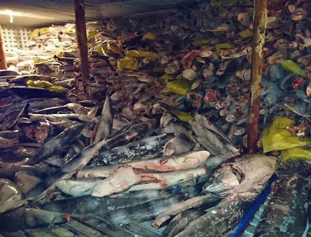 Gemide binlerce köpekbalığı bulundu