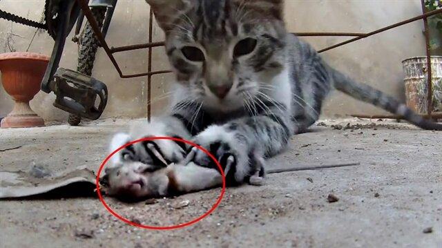 Kedi, avladığı fareyi yerden yere vurdu