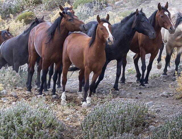 Yılkı atları isteyene bedava verilecek