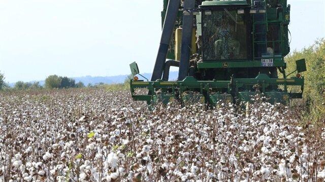 Çalışmalar kapsamında yaklaşık 3 bin 300 dekar alana yapılan pamuk ekiminin ilk ürünü törenle hasat edildi.