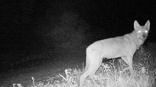 Yaklaşık 25 köpeği yediği ileri sürülen hayvanın kurt olduğu ortaya çıktı.
