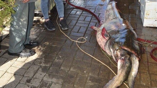 128 kiloluk yayın balığı görenleri şaşkına çevirdi.