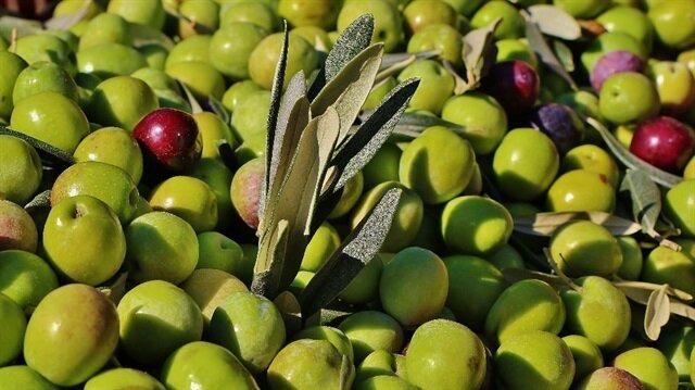 Bayan yevmiyesi 50, erkek yevmiyesi de 80 liradan açılan zeytin toplama dönemi bailadı.